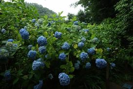 2019/06/08 鎌倉 アジサイ観賞