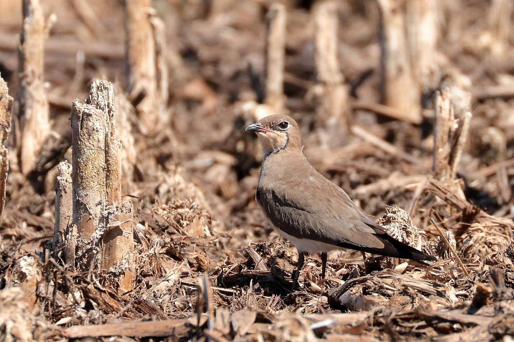 Collared Pratincole (Image Bill Betts)