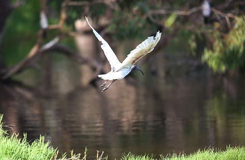 ibis_Pcullen_edited.jpg