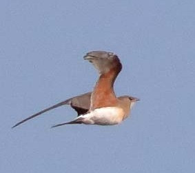 Collared Pratincole in flight- Image Bill Betts