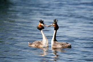 great_crested_grebe_pair.jpg
