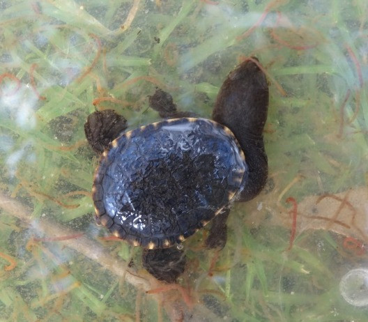 Oblong turtle hatchling in the water