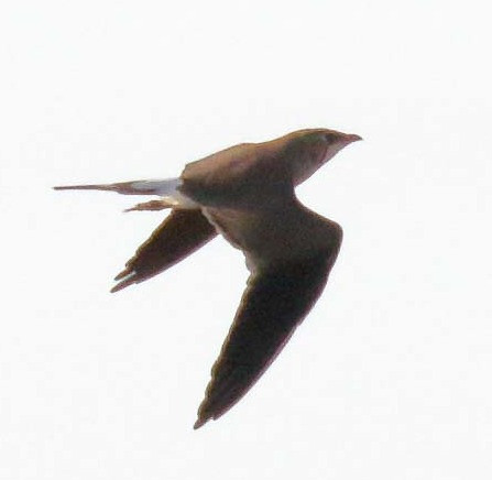 Collared Pratincole in flight - Image Bill Betts
