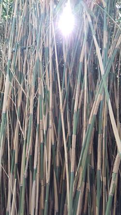ombrages de bambous