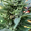 Thumbnail: 12 pack of Gold Leaf X Northern Lights Seeds