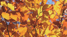 Up-to-date leaf-peeper reports:     www.PlumasCounty.org      800-326-2247