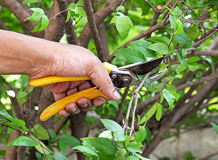 Garden maintenance pruning