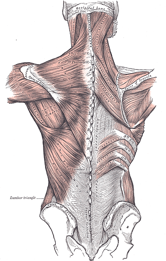 Anatomy Back.png