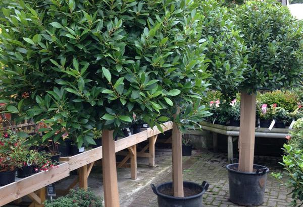 Beautiful Bay Trees now in stock...