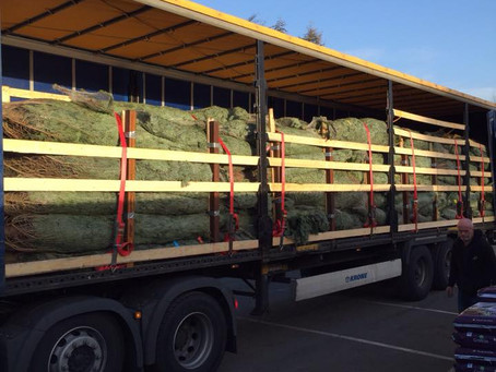 Large 10ft+ trees now in stock