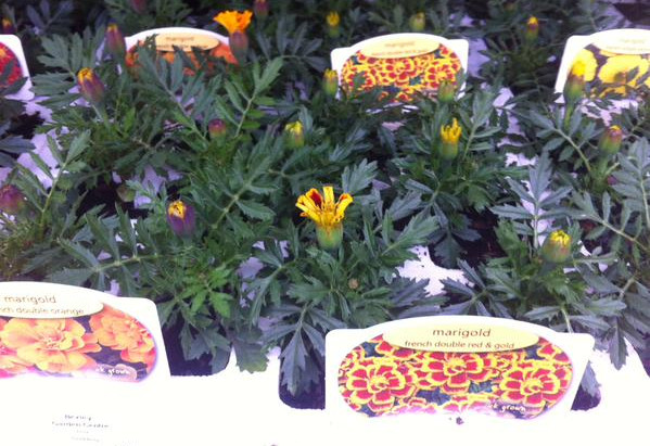 Summer bedding and vegetable plants