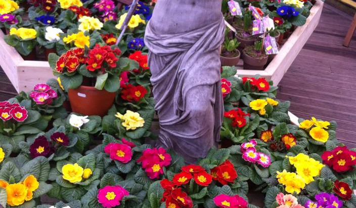 Beautiful primroses now in stock at both branches