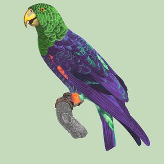 Perroquet Frange