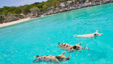 Hog Cay Exumas Swimming Pigs.jpg