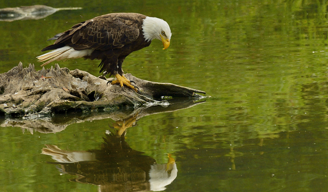 Bald Eagle on Water
