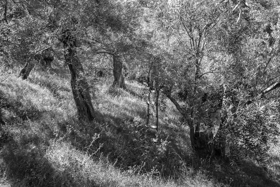 Olive Orchard, Pilion