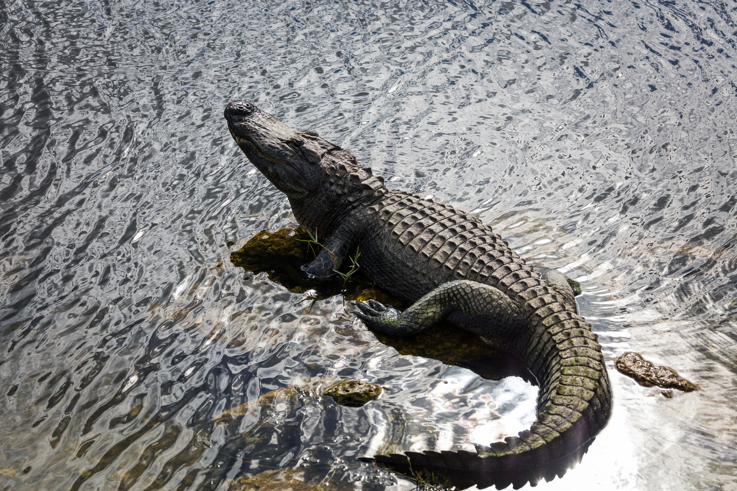 Aligator II