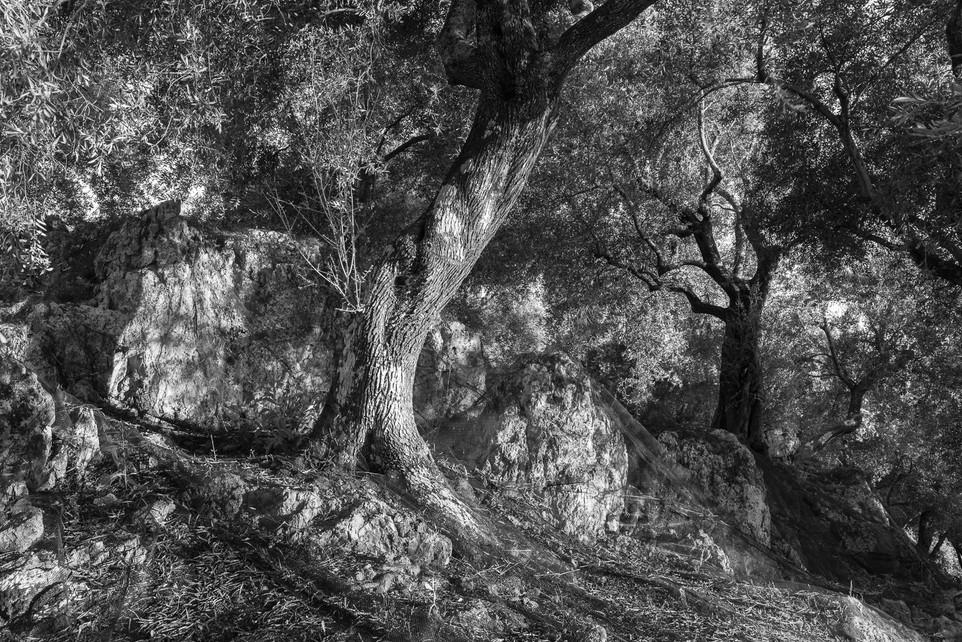 Olive Orchard, Corfu