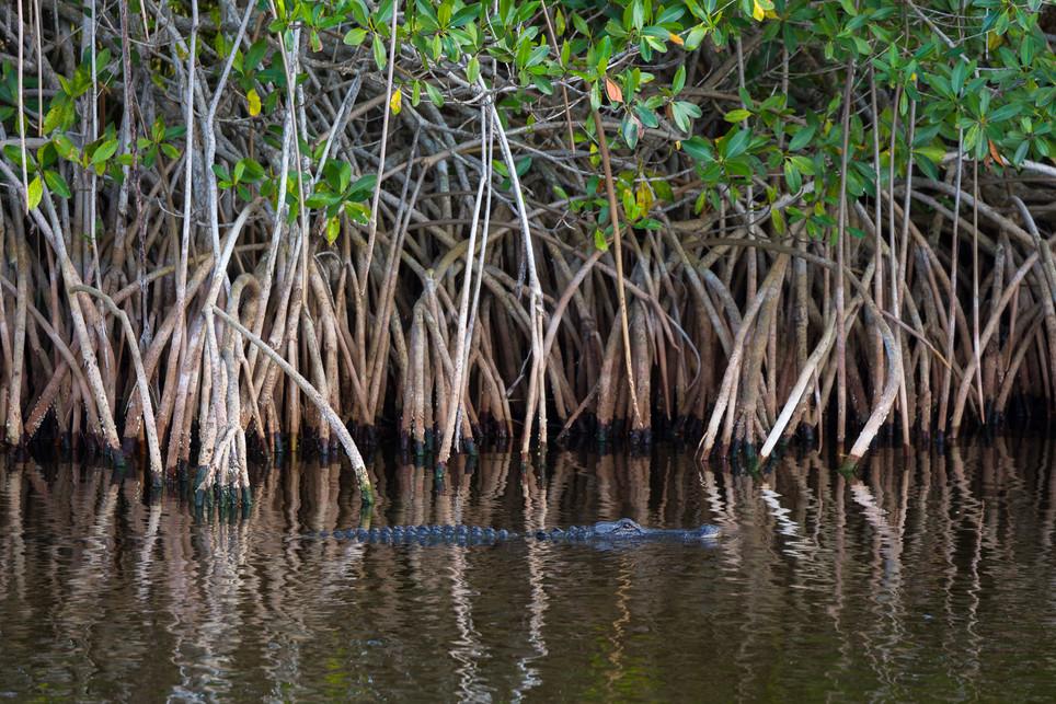 Aligator and Mangrove