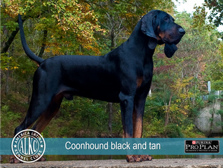 Coonhound Black and tan