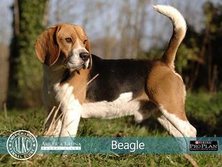 Conheça o Beagle