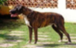 dogue-brasileiro.jpg