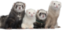 ferret website 2019.png