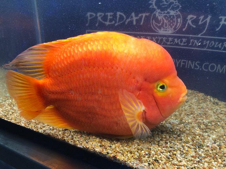 King Kong Mammon Parrot fish XXL