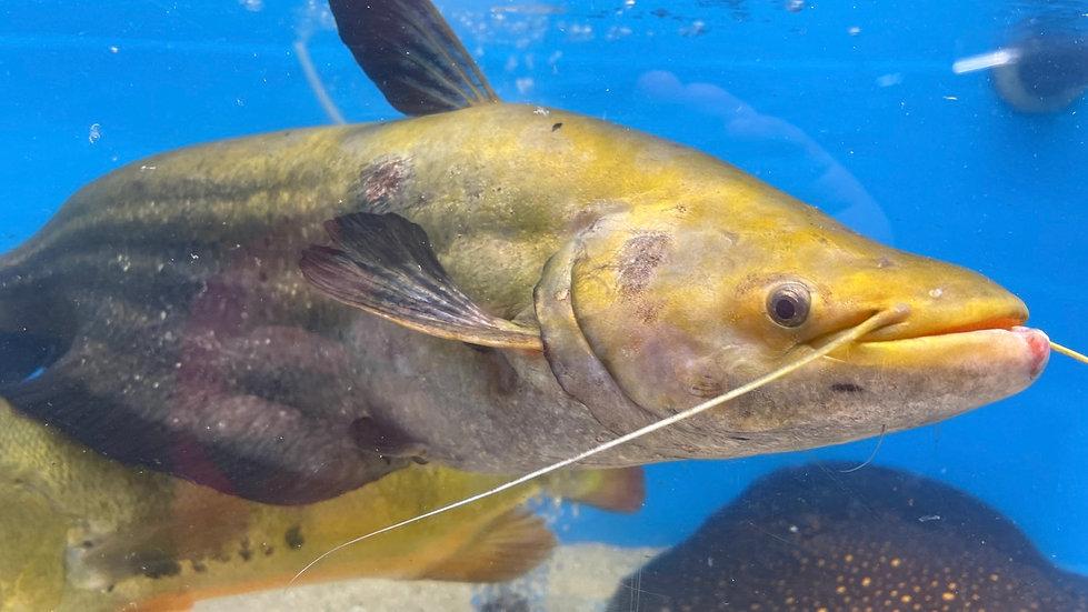 Striped Wallago Leeri Catfish