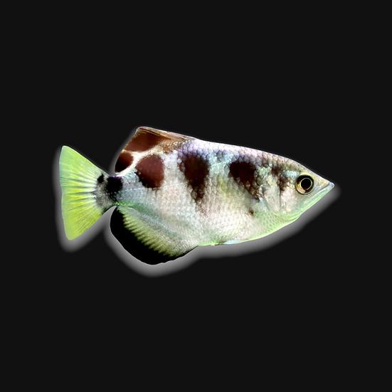 Marble archer fish