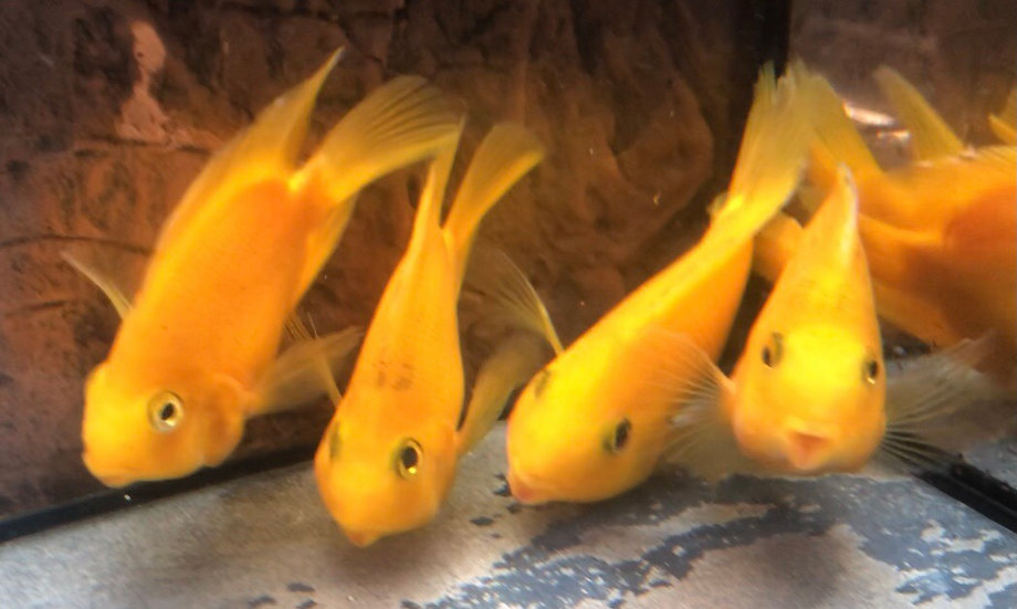 Yellow Ignot Parrot Fish Cichlid