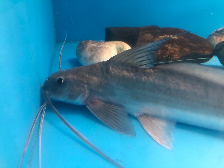 Barbado Catfish