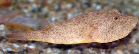 Potato Puffer (Tetraodon miurus)