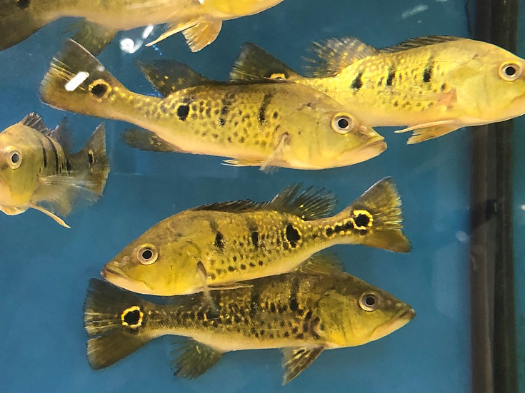 Yellow Kelberi Peacock Bass