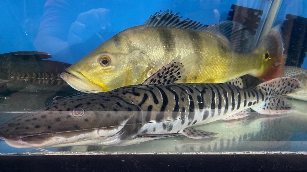 Tiger Shovelnose Catfish XL
