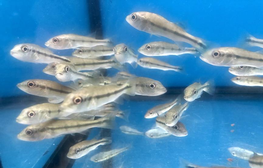 Juvenile Fogo Peacock Bass
