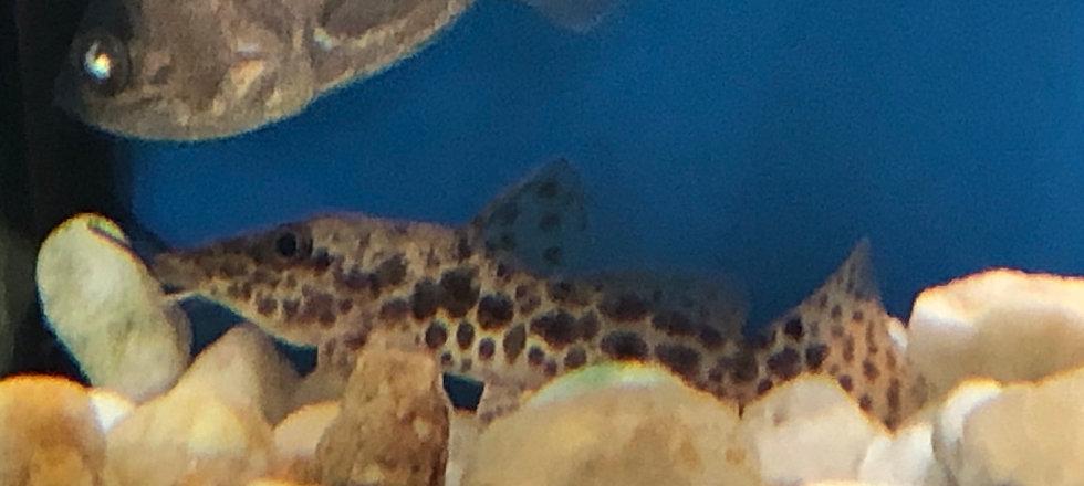 Giraffe Catfish