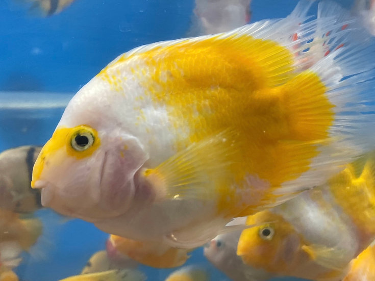 Yellow & White Parrot Cichlid