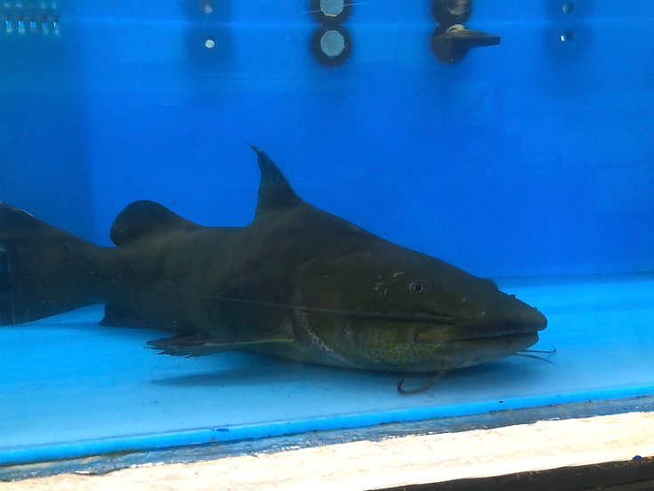 Jau catfish (Monster size)