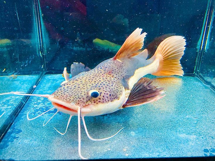Shortbody Redtail catfish (Brazil)