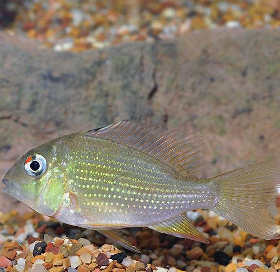 Threadfin Geophagus (Acarichthys heckelii)