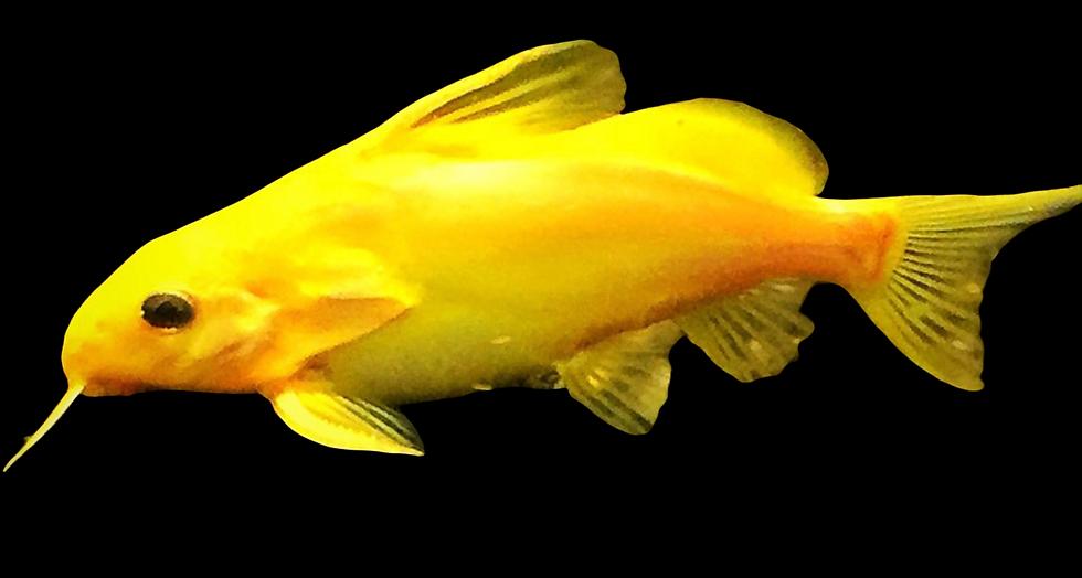 Golden Synodontis