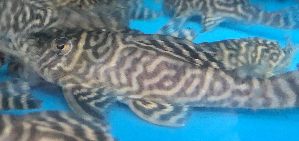 King Tiger Pleco L-066