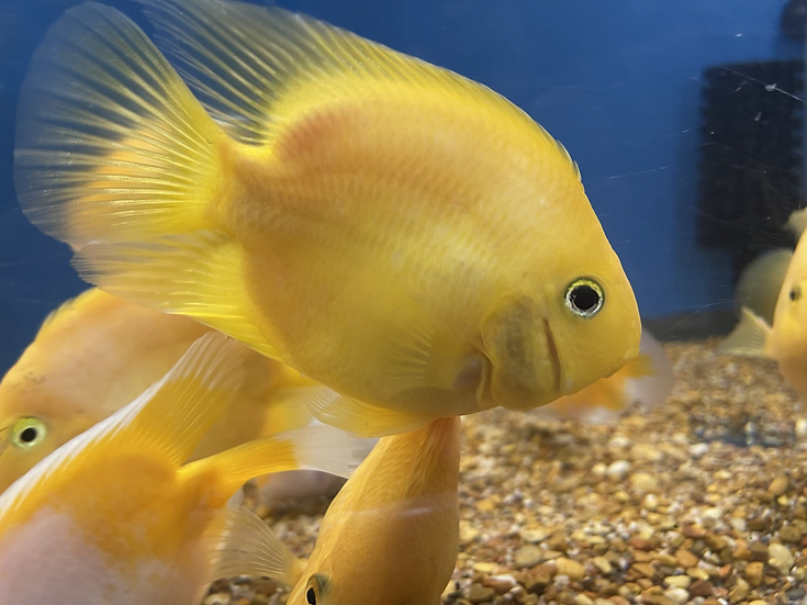 Yellow Parrot Fish Cichlid