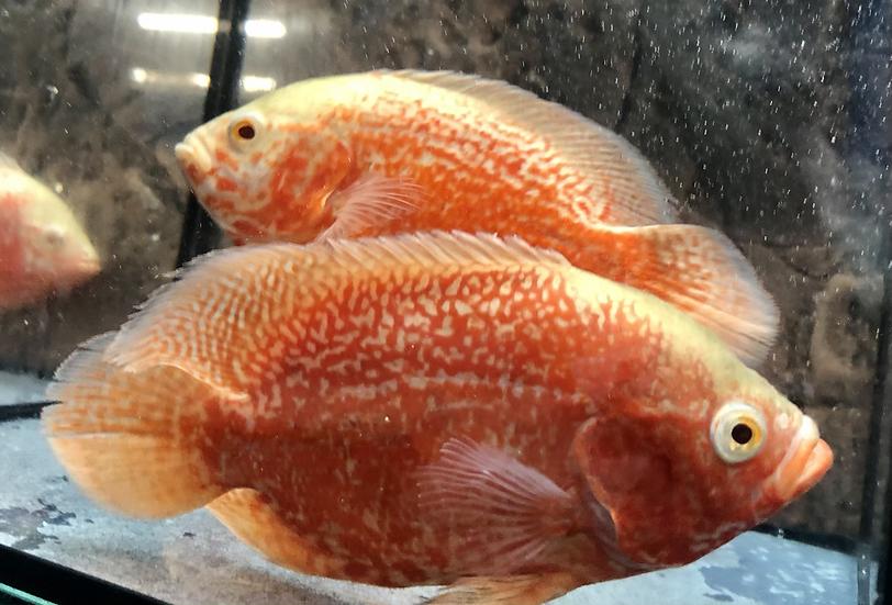 Albino Red Super Tiger Oscar