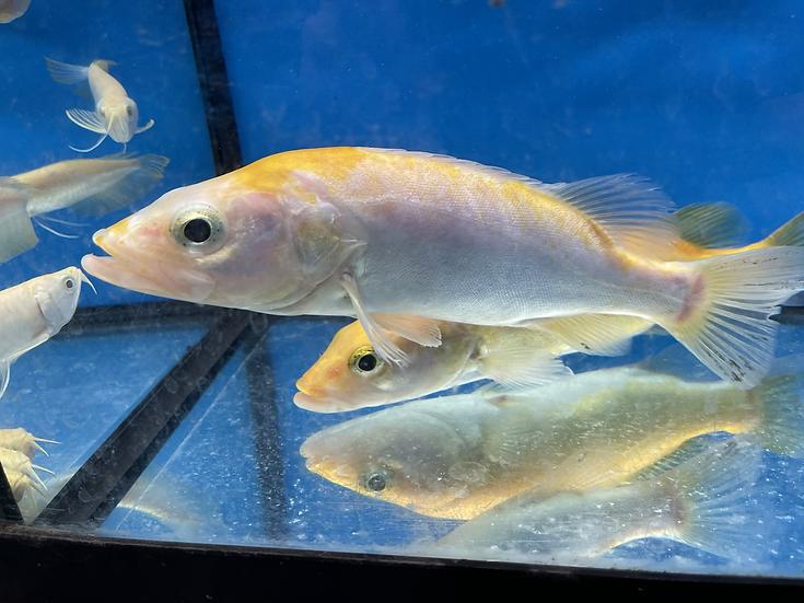 Golden White Mandarin Perch (Siniperca scherzeri)