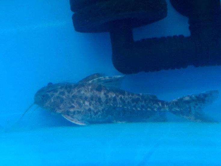 Granulosus Catfish