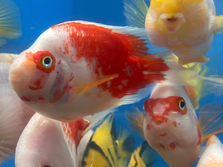 Red & White Parrot Cichlid
