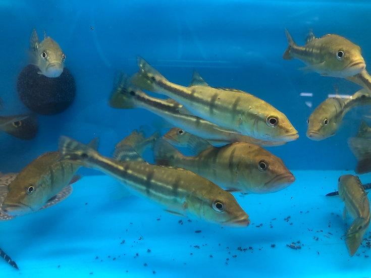 Temensis peacock bass