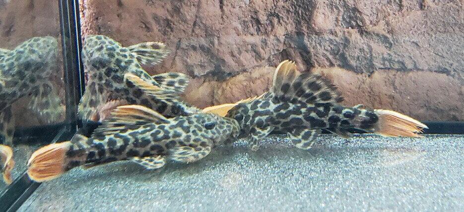 Leopard Cactus L-600